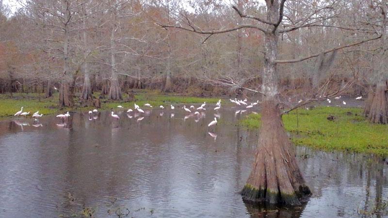 Roseate Spoonbill birds