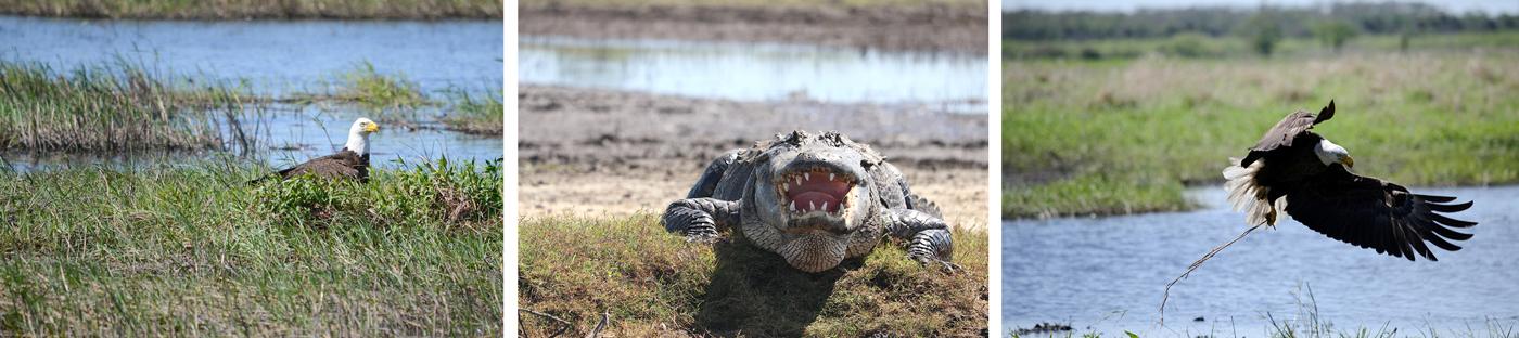 Alligators and Eagles